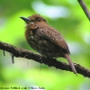 White-whiskered Puffbird 3.jpg