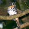 White-whiskered Puffbird 4.jpg