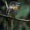 White-whiskered Puffbird 5.jpg