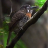 White-whiskered Puffbird female 2.jpg
