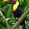 Chestnut-mandibled Toucan 1.jpg