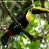 Chestnut-mandibled Toucan 2.jpg