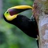 Chestnut-mandibled Toucan 3.jpg