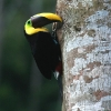 Chestnut-mandibled Toucan 4.jpg