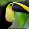 Chestnut-mandibled Toucan 5.jpg