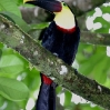 Chestnut-mandibled Toucan 6.jpg
