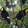 Chestnut-mandibled Toucan 7.jpg