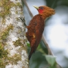 Chestnut-colored Woodpecker 2.jpg