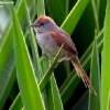 Pale-breasted Spinetail 1.jpg