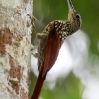 Black-striped Woodcreeper 3.jpg