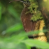 Brown-billed Scythebill 2.jpg