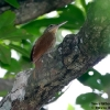 Ivory-billed Woodcreeper 1.jpg