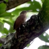 Ivory-billed Woodcreeper 2.jpg