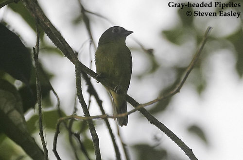 Gray-headed Piprites 2.jpg