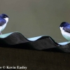 Blue-and-white Swallow 1.jpg