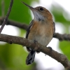 Long-billed Gnatwren 2.jpg