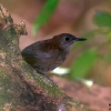 Nightingale Wren 1.jpg