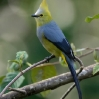 Long-tailed Silky-Flycatcher 2.jpg