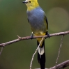 Long-tailed Silky-Flycatcher male 1.jpg