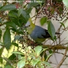 Long-tailed_Silky-FLycatcher_4_web copy.jpg