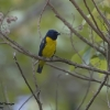 Blue-and-gold Tanager 1.jpg