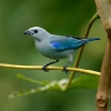 Blue-gray Tanager 1.jpg