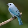 Blue-gray Tanager 2.jpg