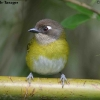 Common Bush-Tanager 1.jpg