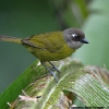 Common Bush-Tanager 2.jpg