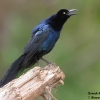 Great-tailed Grackle male 1.jpg