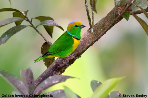 Golden-browed Chlorophonia male 1.jpg