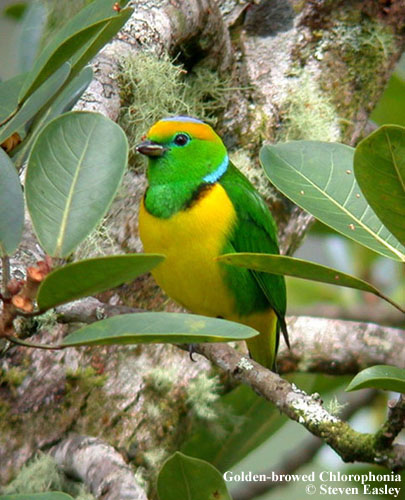 Golden-browed Chlorophonia male 3.jpg