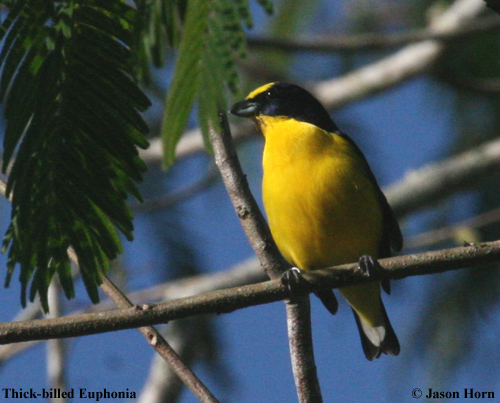 Thick-billed Euphonia male 1.jpg
