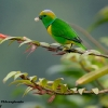Golden-browed Chlorophonia male 2.jpg