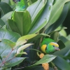 Golden-browed Chlorophonia pair.jpg