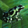 Green-and-black Dart Frog 1.jpg