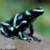Green-and-black Dart Frog 2.jpg