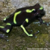 Green-and-black Dart Frog 3.jpg