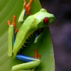 Red-eyed Tree Frog 1.jpg