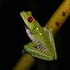 Red-eyed Tree Frog 2.jpg