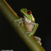 Red-eyed Tree Frog 3.jpg