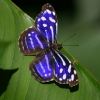Whitened Bluewing 1.jpg